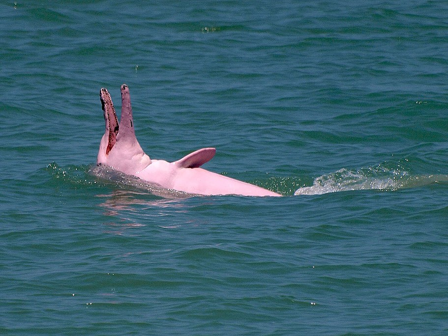 See pink dolphins in the wild
