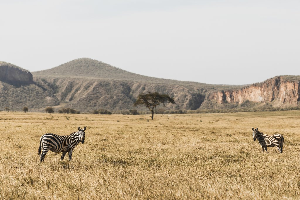 Zebras in Hell's Gate Park