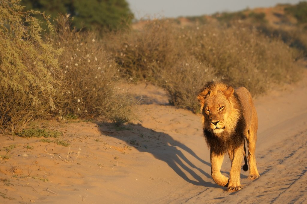 Panthera leo male walking in the Kalahari Desert