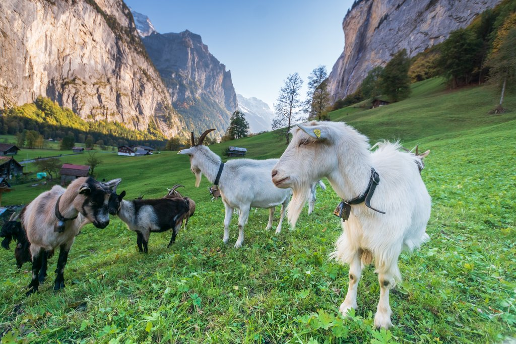 Goats grazing in the Lauterbrunnen Valley