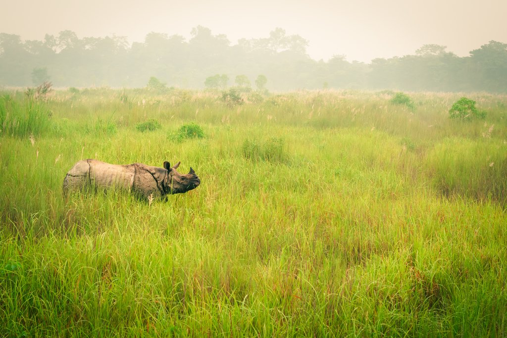 Wild endangered one-horn rhinoceros grazing in Chitwan