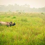 Wild endangered one-horn rhinoceros grazing in Chitwan