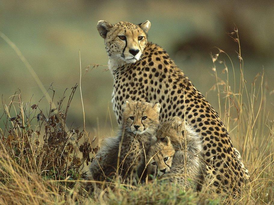 Mara Cheetah Family