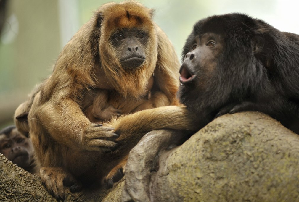 All four types of monkeys in Costa Rica, including howler monkeys, exist in Corcovado