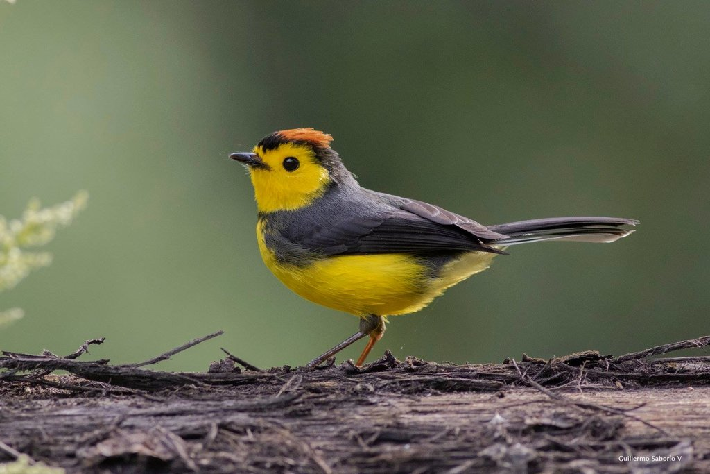 Go birding in the morning  and spot a collared redstart