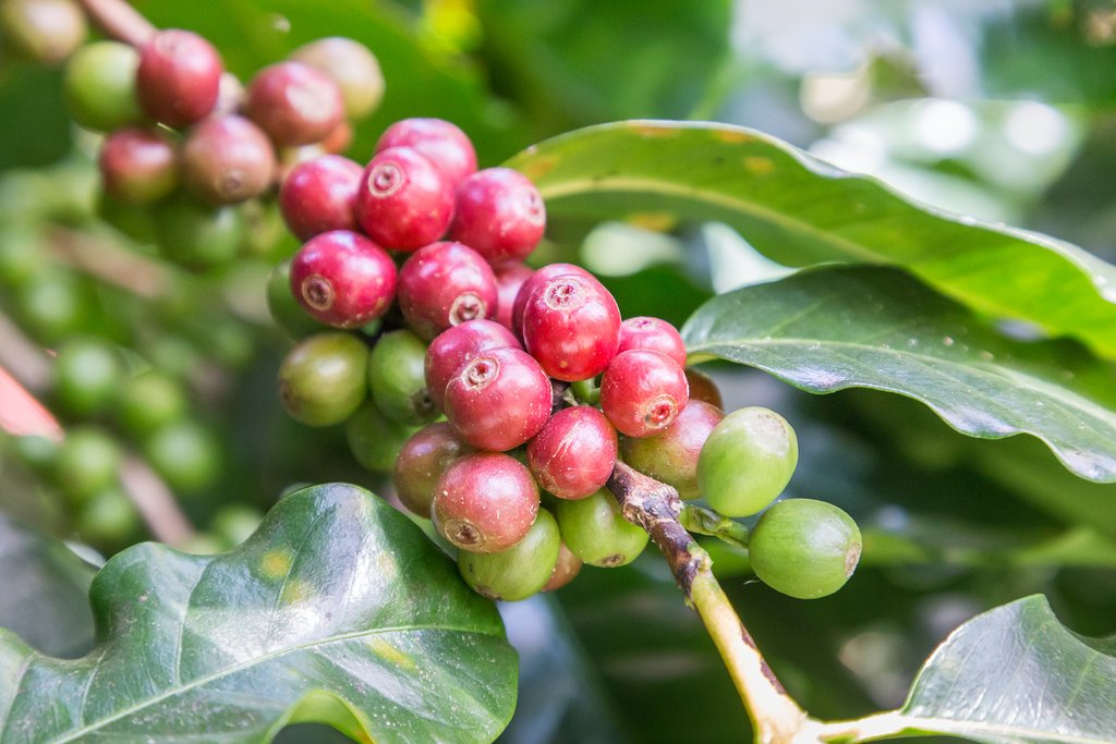 Coffee beans ready for the harvest