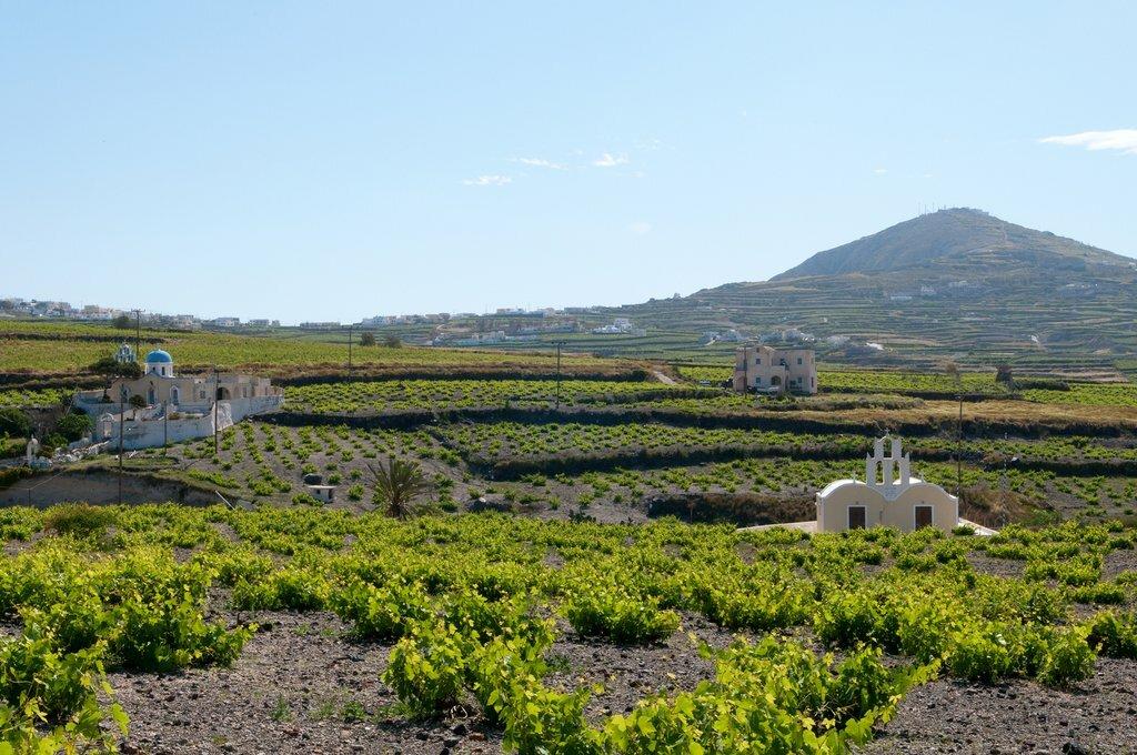Vineyards of Santorini