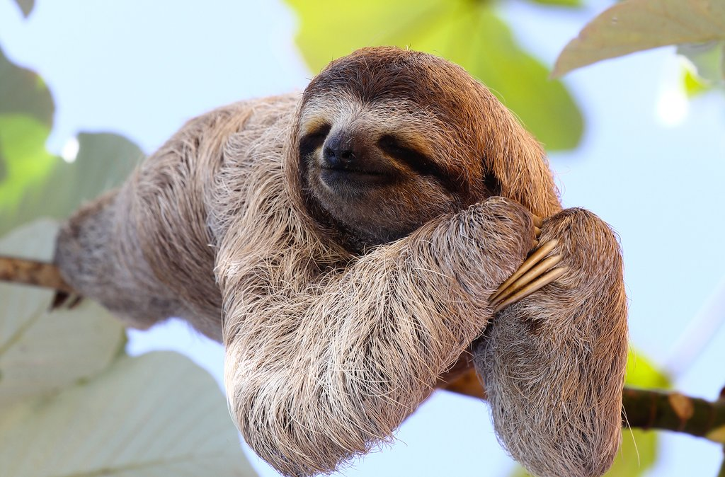 Three-toed sloth lounging in the trees