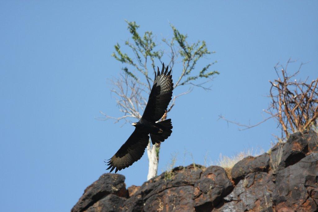 Verreaux's eagle in Masai Mara