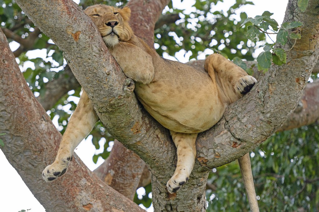 Young lion asleep in a tree