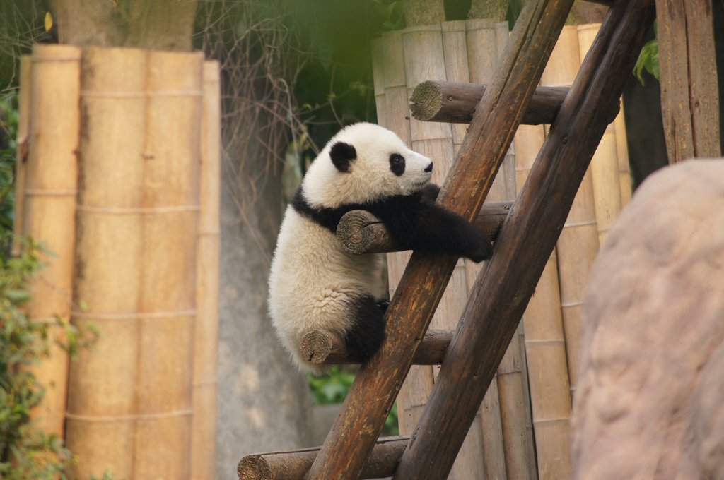 Giant pandas are only found in central China