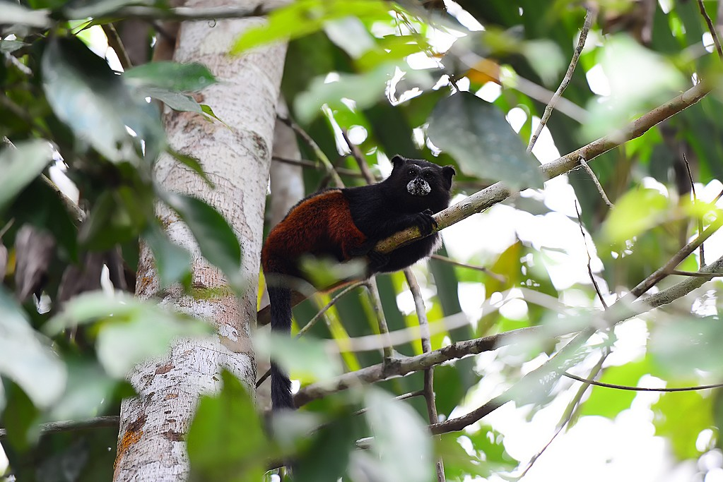 Saddleback tamarin monkey in the Peruvian Amazon
