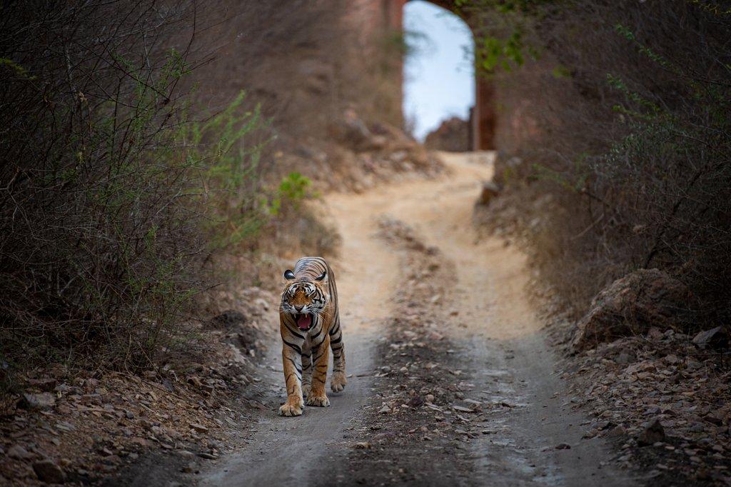 Male bengal tiger facing a Jeep safari in Ranthambore National Park