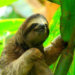 It's common to spot three-toed sloths in the park