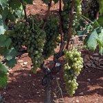 White grapes on a vineyard in Smokvica, Korčula