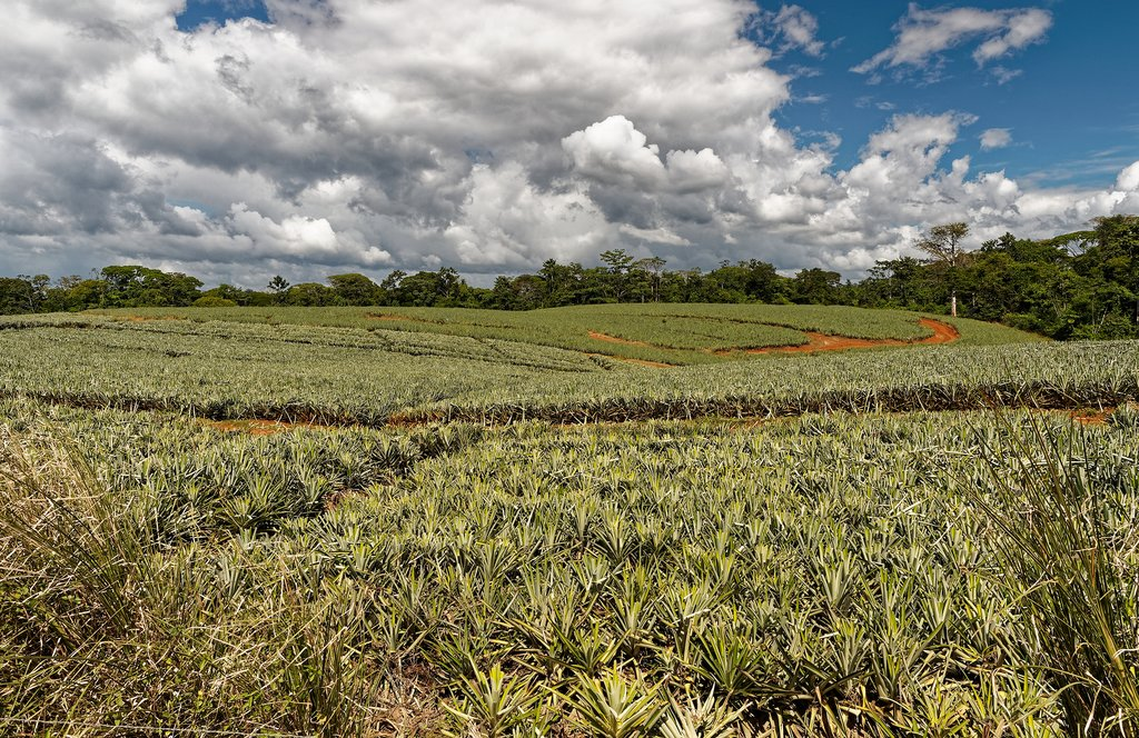 The pineapple fields of Sarapiquí