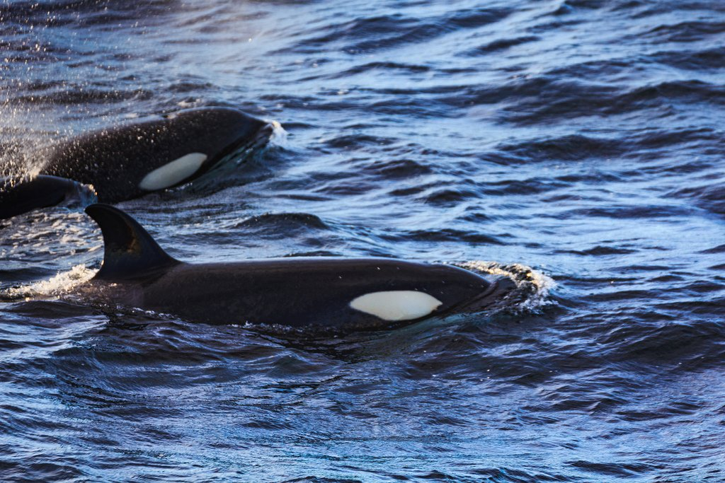 Orcas off the coast of the Vesterålen archipelago