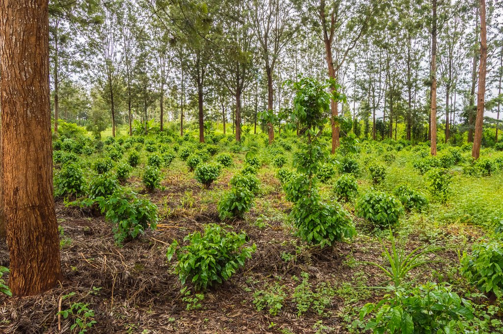 Young coffee plants in central Kenya