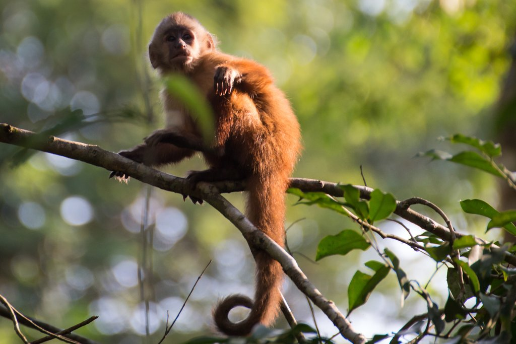 A capuchin monkey in the Tambopata Preserve