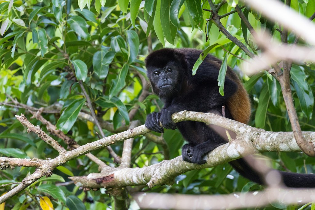 Howler monkeys are common in Caño Negro