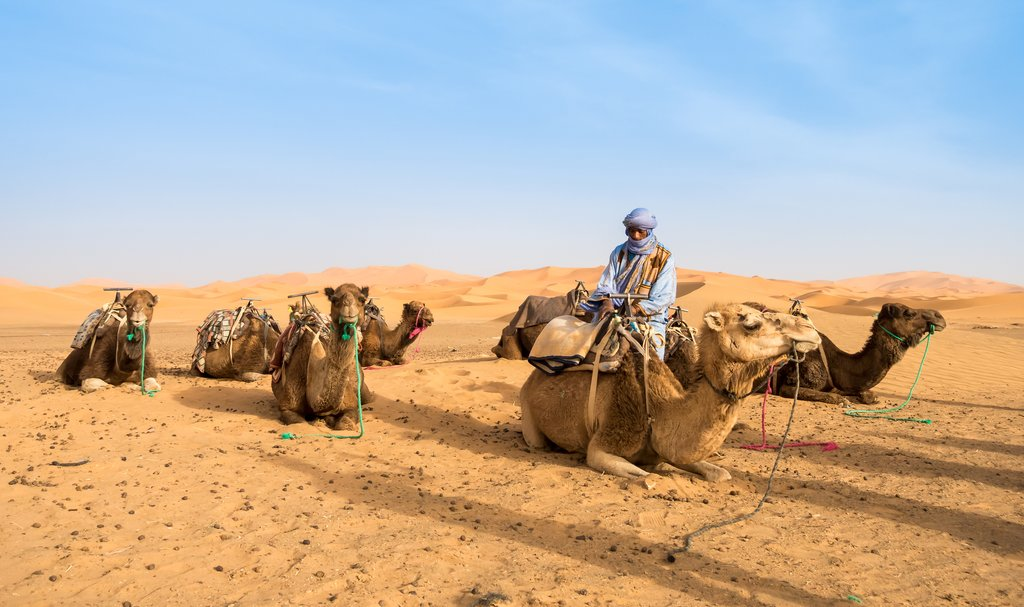 Camel owner prepping camels for tourists, Merzouga, Sahara Desert, Morocco