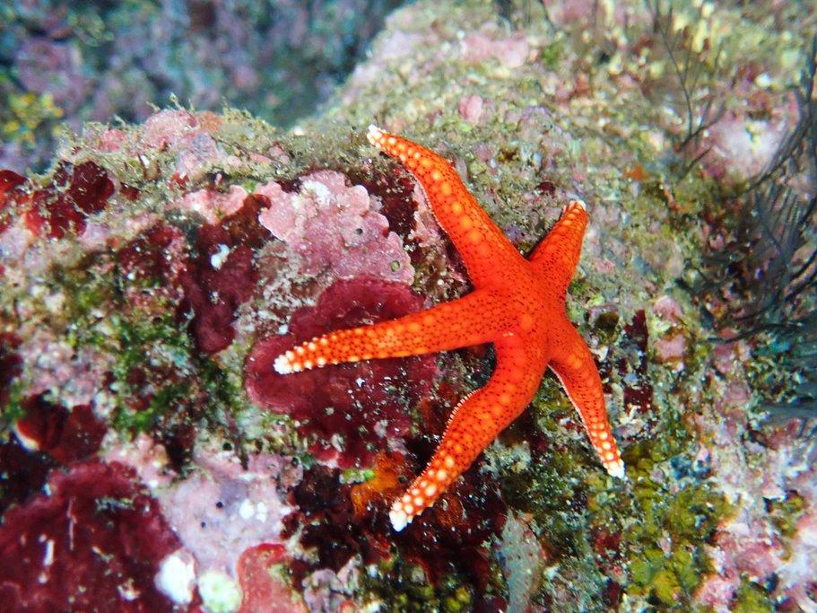 A Balinese starfish