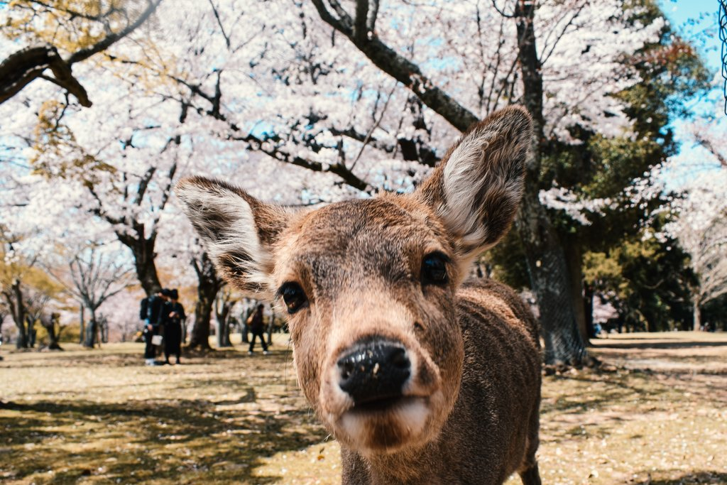 An inquisitive deer