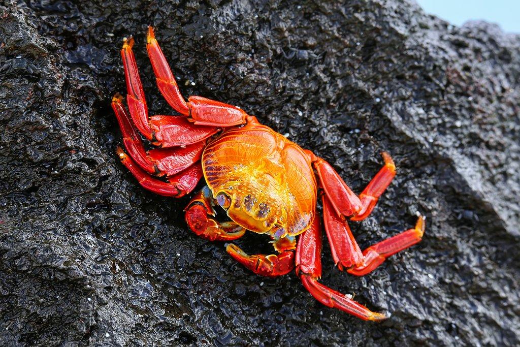 Crab on Española Island, Galapágos Islands