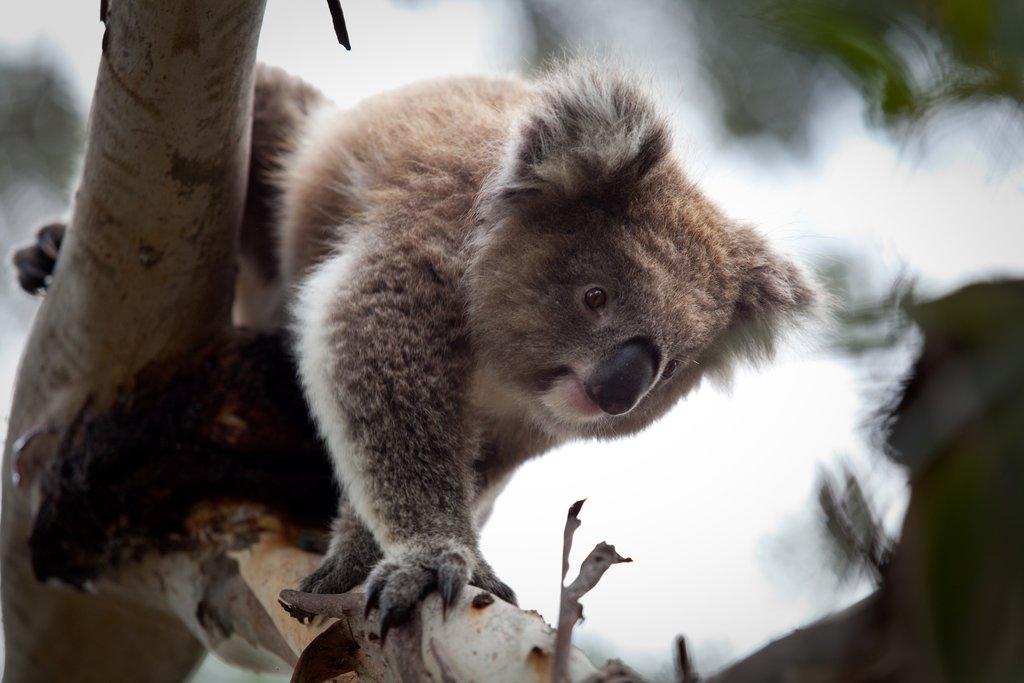 Koala Conservation Centre, Phillip Island