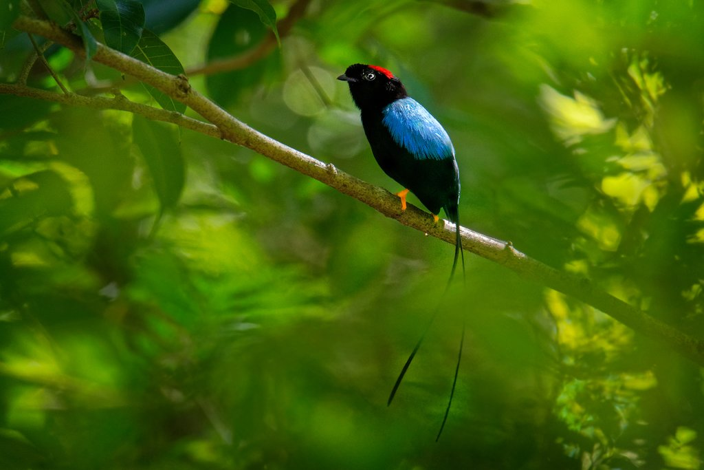 The long-tailed manakin, a rare and beautiful bird