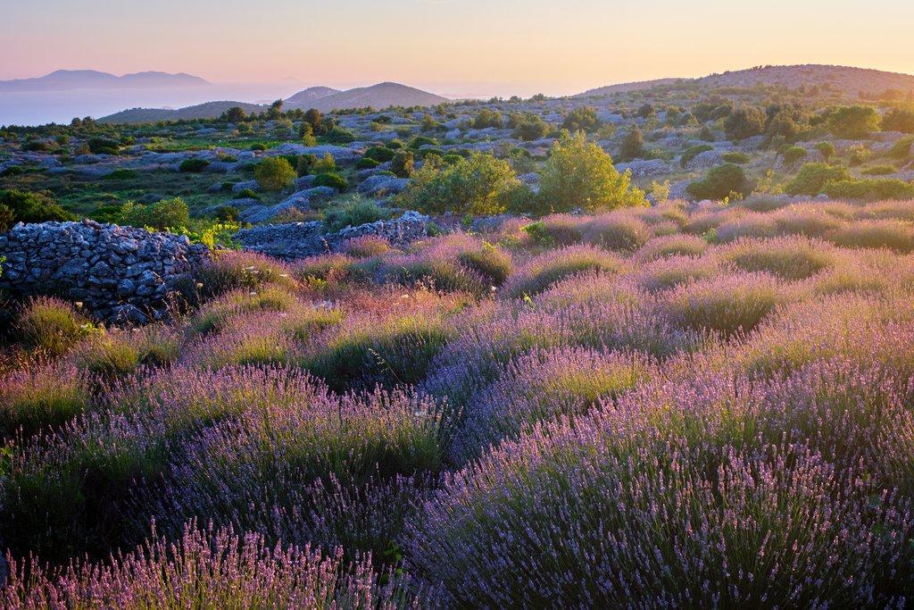 Lavender Fields, Hvar Island
