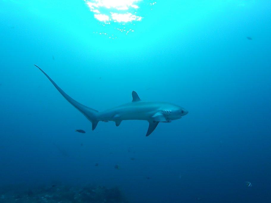 A thresher shark