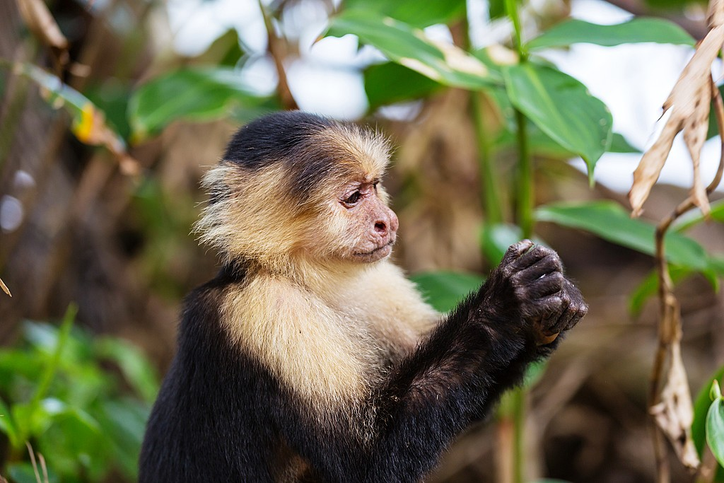 You can help care for animals like white-faced capuchin monkeys at Proyecto Asis