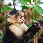 Help care for animals like white-faced capuchin monkeys at Proyecto Asis