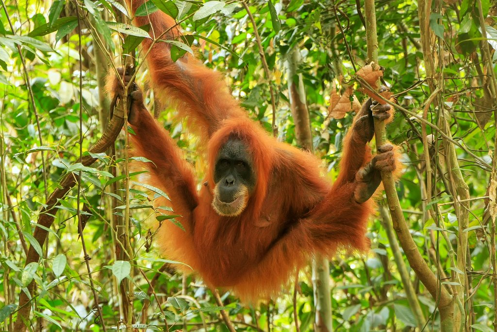 Search for orangutans in Gunung Leuser National Park