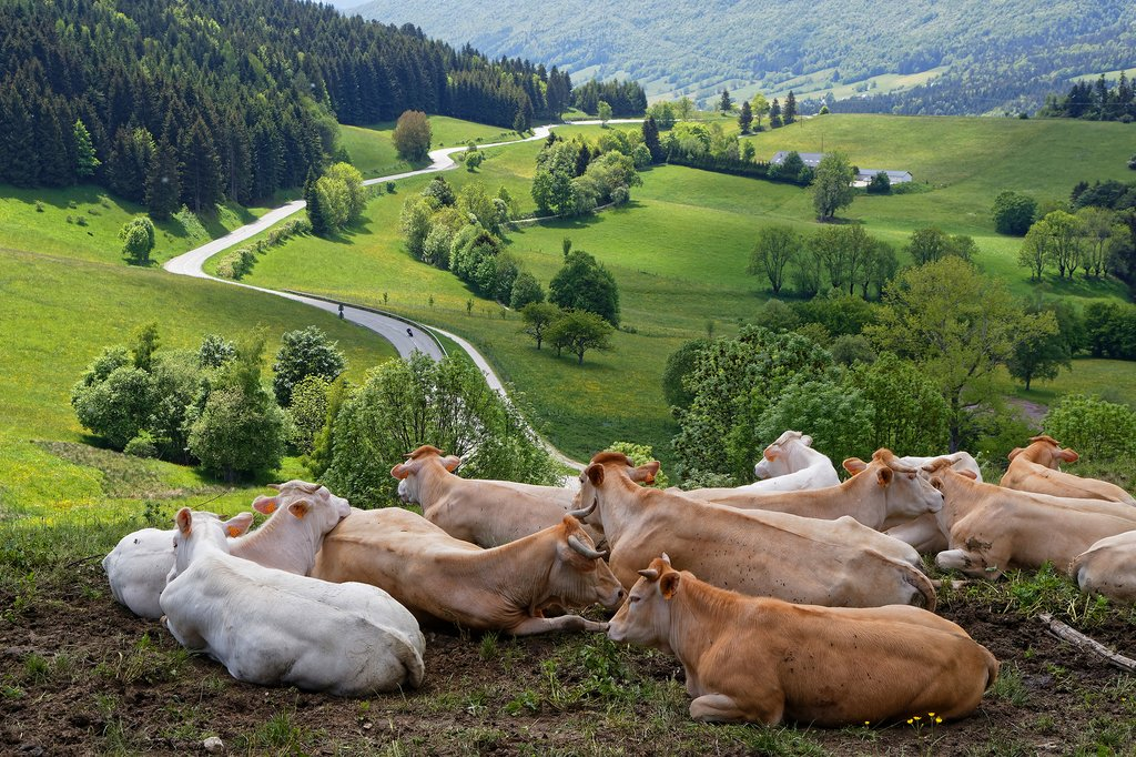 Cows grazing near Lyon