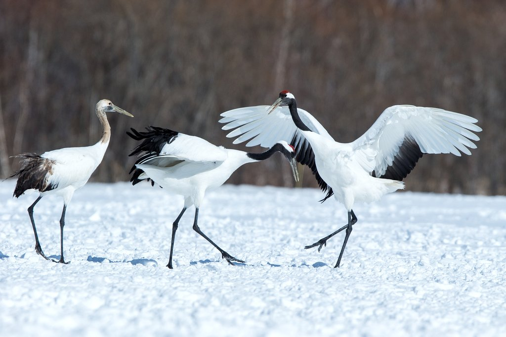 Red-crowned cranes perform their bonding dance.
