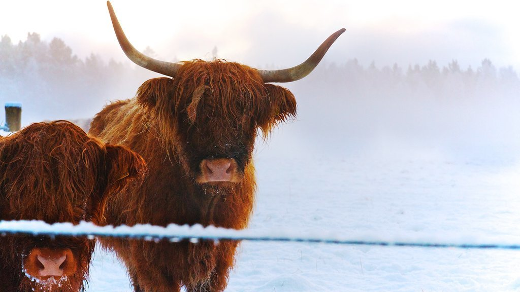 Highland cattle in the snow.