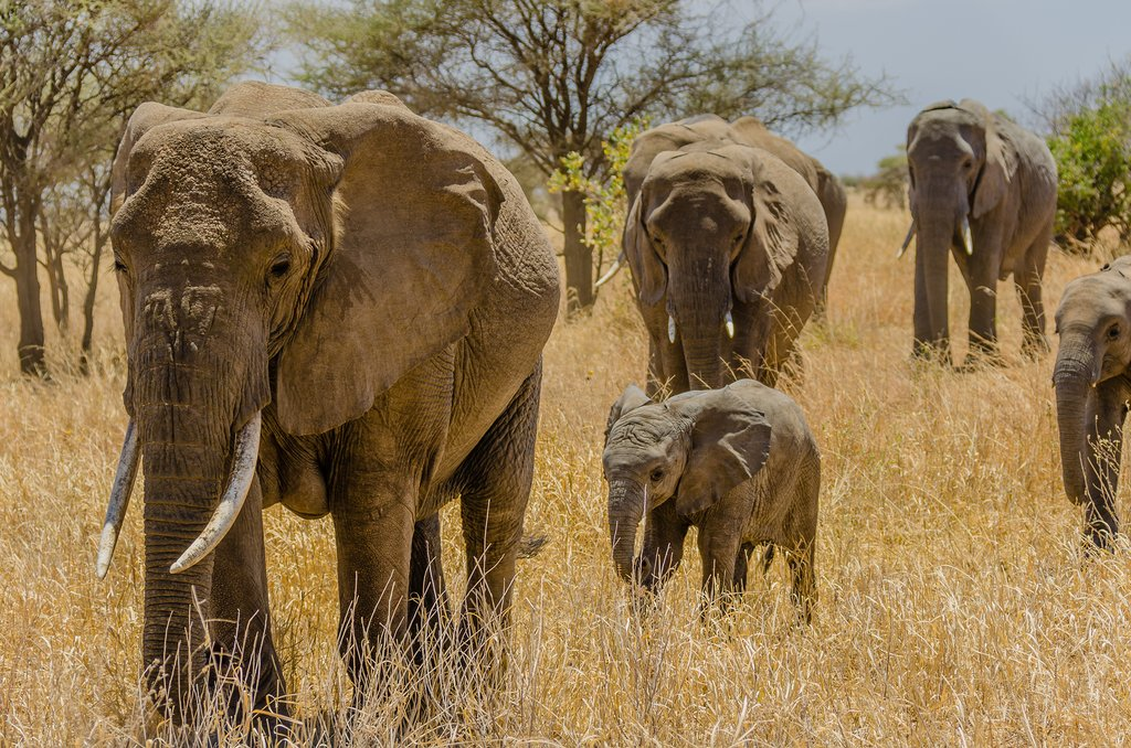 An elephant family in Tarangire National Park
