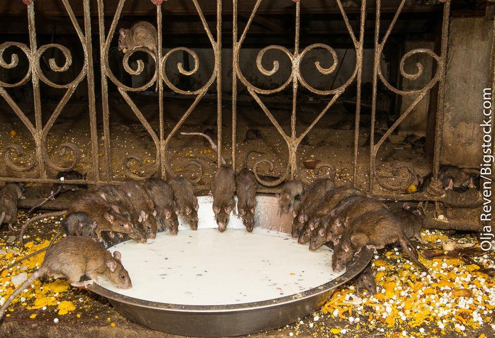 Karni Mata Mandir, the rat temple