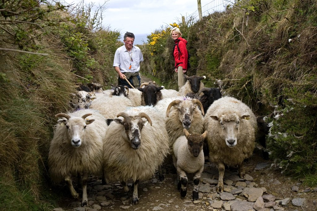 Local shepherd with his flock