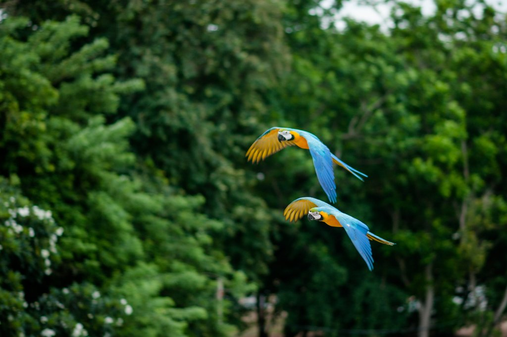Brightly-colored Macaws in the rainforest