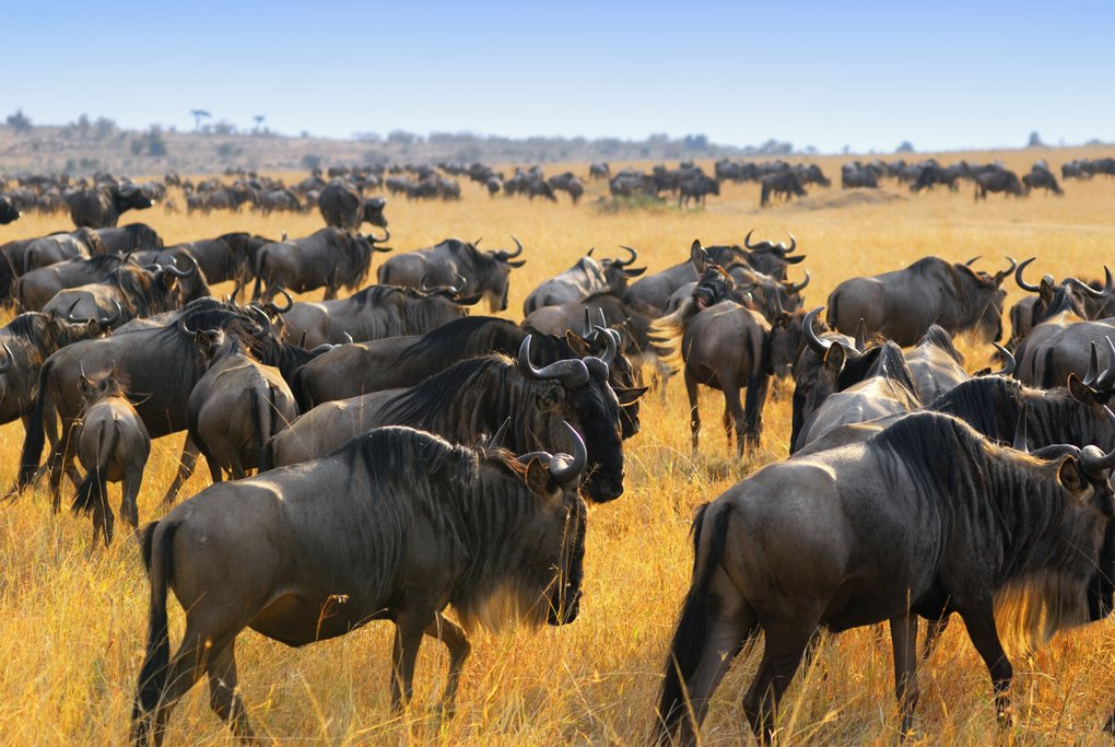 The Great Migration in Maasai Mara