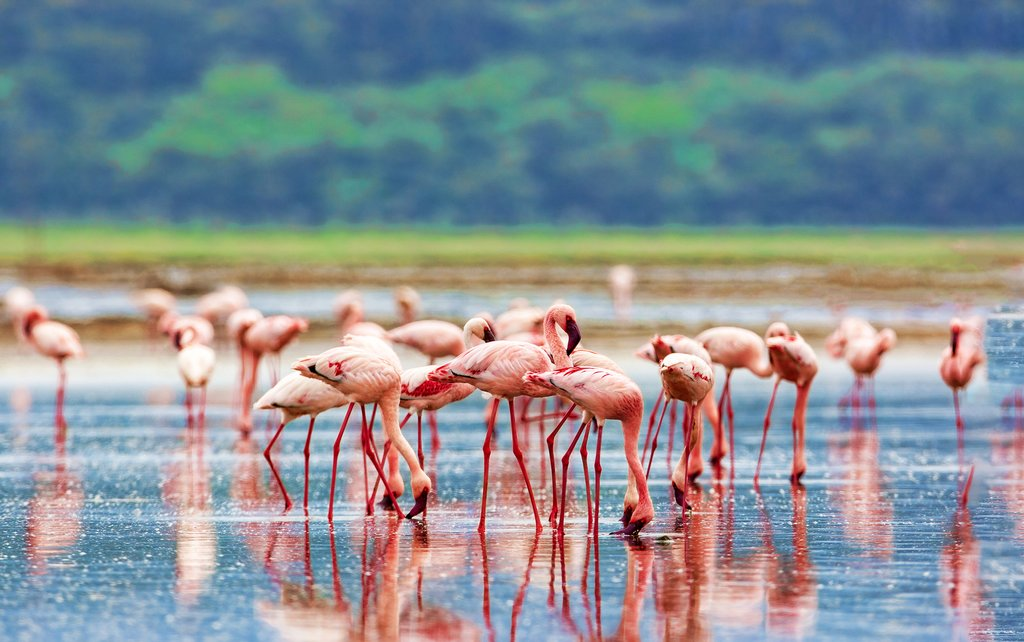 A flock of pink flamingos on Lake Nakuru