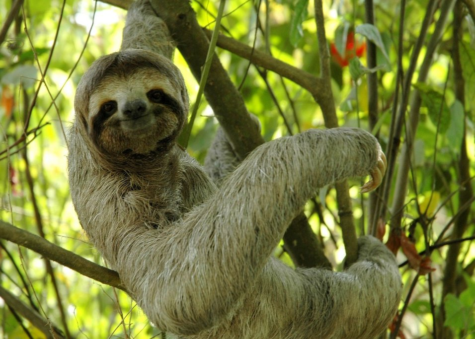Catch sight of a sloth in the trees