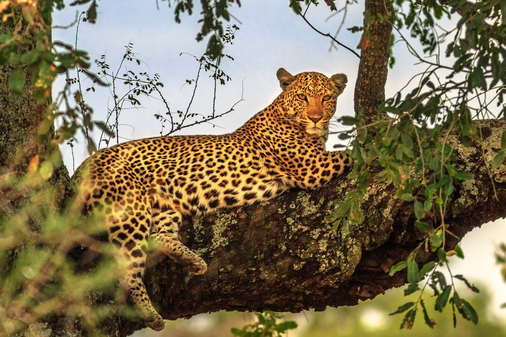 The leopard is part of the popular Big Five
