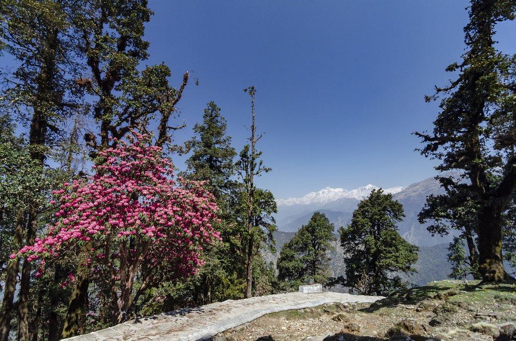 Rhododendron blooms near Chamoli