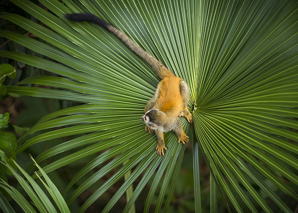 Squirrel monkey in Manuel Antonio