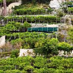 terraced lemon groves of Amalfi