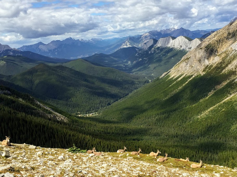 Mountain goats along the Sulphur Skyline Trail, Jasper National Park
